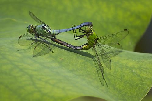 ohio wheel dragonfly clarksville easternpondhawk cowanlake matingwheel