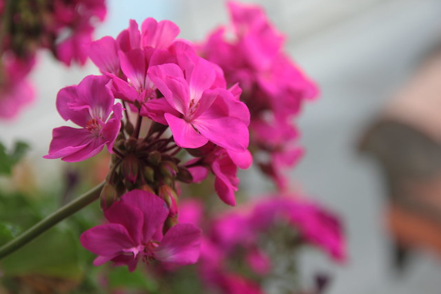 Geranium, Geranio #Photography #Flickr #Foto  1