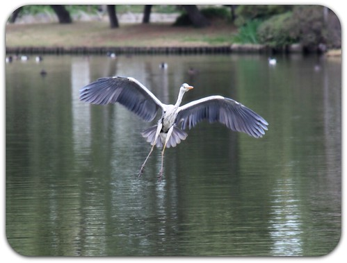 """A Great Blue Heron flies gracefully thru the skies."""