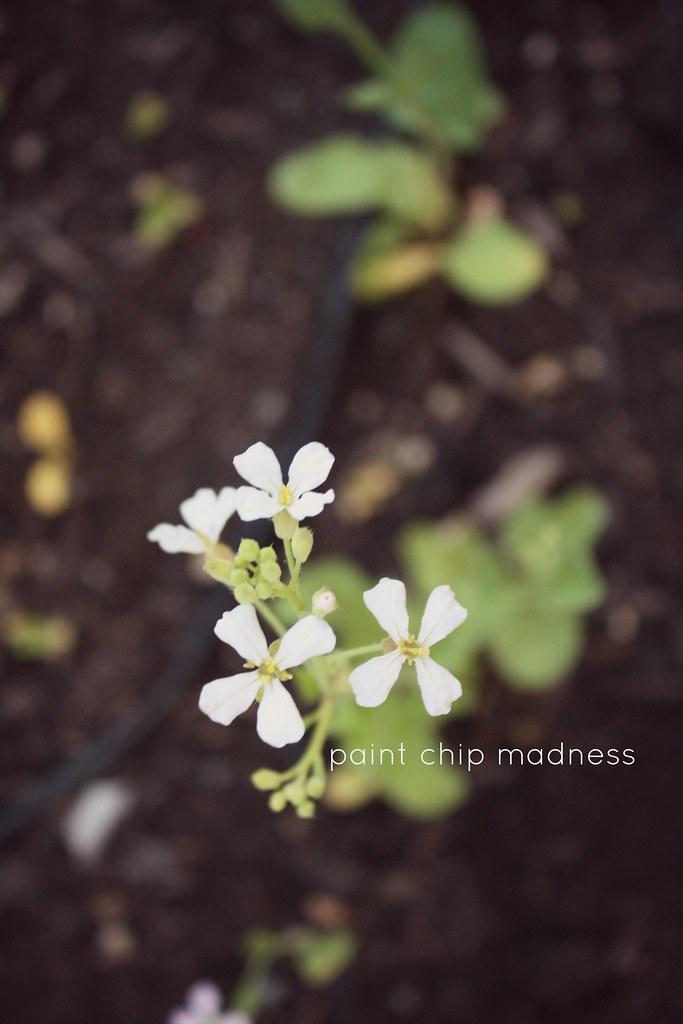 turnip flowers