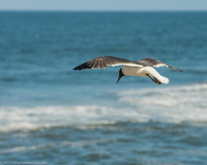 Hatteras Birds