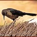 Great-tailed Grackle female_8646