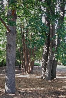 Elm, pine, cedar