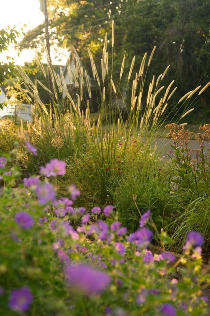 geranium rozanne & Pennisetum macrourum  2010