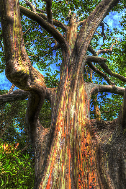 Rainbow Eucalyptus Tree Flickr Photo Sharing