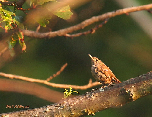Wren at Bombay Hook