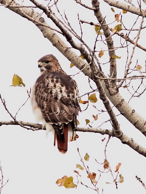Red-tailed Hawk 4-20121104
