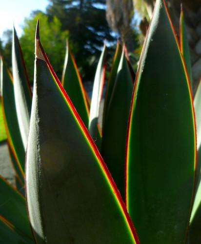 Agave 'Blue Glow' [Agave attenuata x A. ocahui] Leaning Pine Arboretum, Cal Poly 14Mar14 BushPhoto by aviac