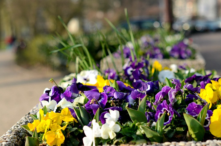 DSC_7481 spring violets