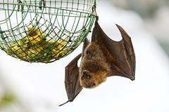 Fruit bat and food
