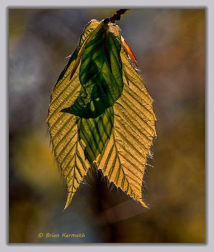 leaves botanical maine backlighting northernmaine aroostookcounty backlitsubjects