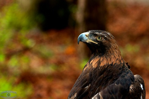Golden Eagle in the Rain 1209