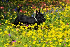 Scottish Terrier and Wildflower
