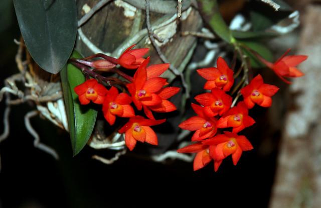 Orquídea Cattleya Cernua