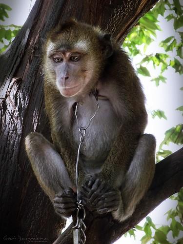 praying monkey