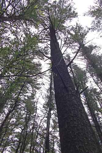 1663 tree upward