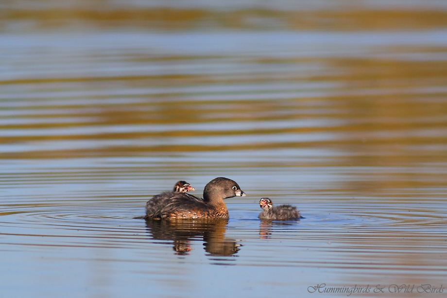 Pied-billed Grebe 122511-7