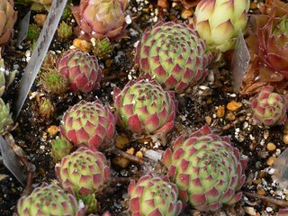 Sempervivum pittonii