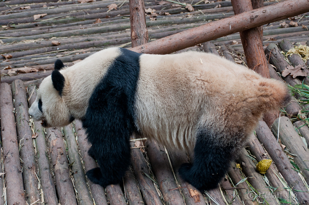 Panda_poo_Chengdu_Sichuan_China
