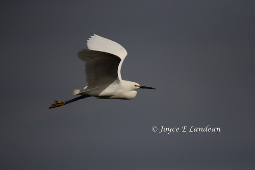 Great White Egret_IMG_2327-20L