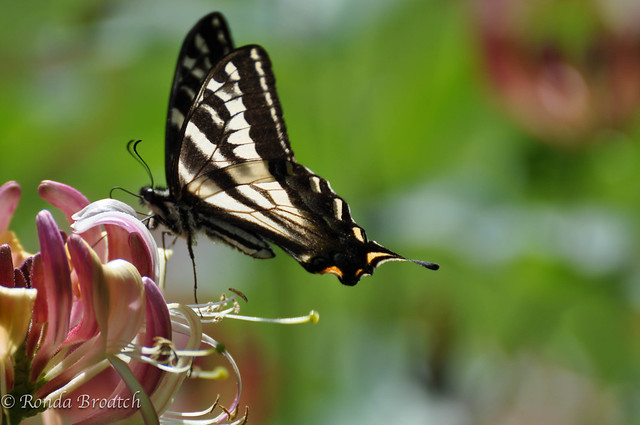 Zebra Swallowtail at the Honeysuckle