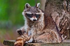 [フリー画像素材] 動物 1, 哺乳類, アライグマ ID:201206291600