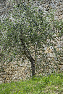 DSC01583NX5N  Tree By Wall - Italy  ©2012