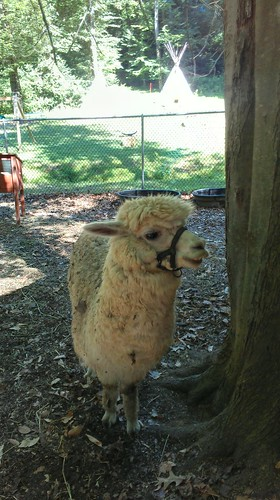 Allie the alpaca