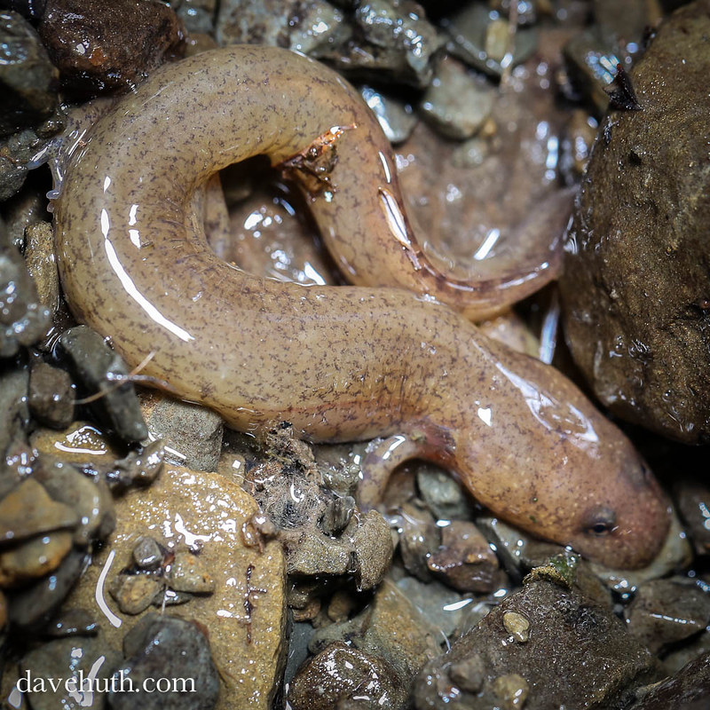 Larval Spring Salamander (Gyrinophilus porphyriticus)