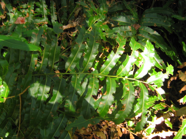 Header of Acrostichum danaeifolium