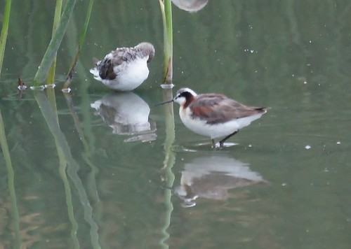 Wilson's Phalarope by Mike's Birds