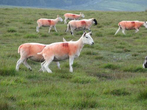 Technicolor Sheep on Dartmoor