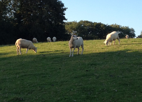 Sheep, Chillington