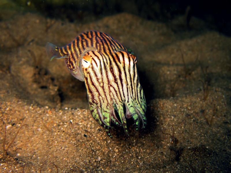 c0507fd997 ... Striped Pyjama Squid (Sepioloidea lineolata)