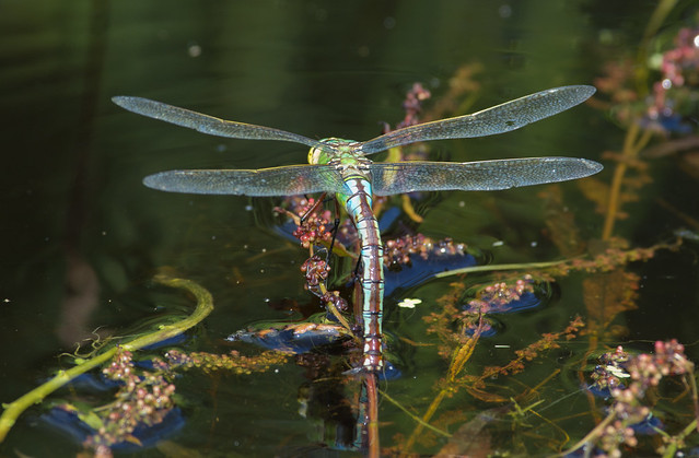 egg laying emperor dragonfly_