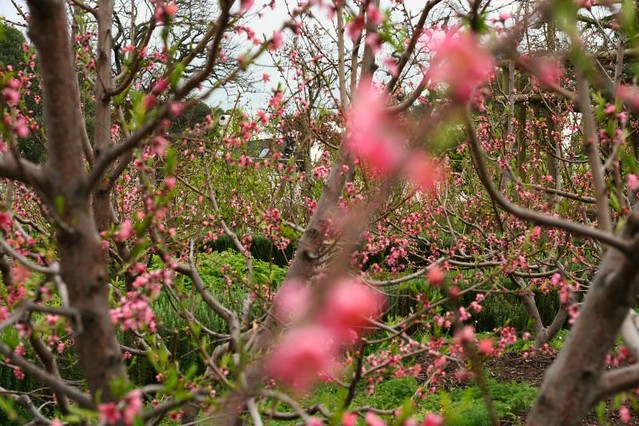 view through the blossom trees