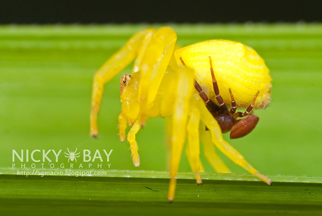 Crab Spiders mating (Thomisidae) - DSC_7452