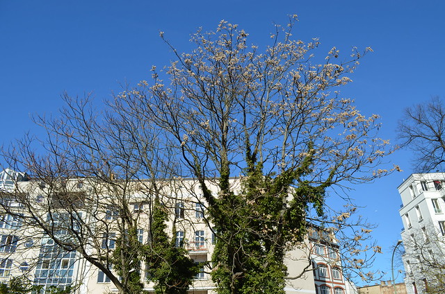Volkspark Friedrichshain Berlin_ivy covered blooming tree at park entrance blue sky buildings
