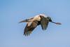 Wood Stork 012116h copy