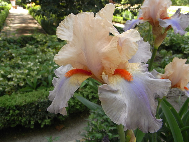 Iris 'Tabac blond'