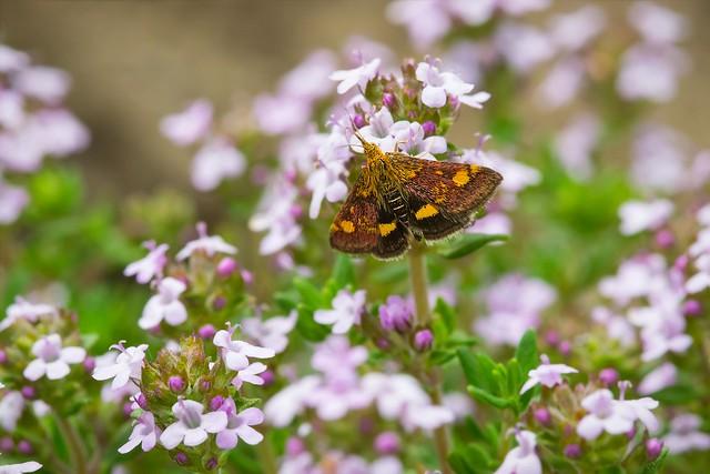 Mint Moth on a Flower