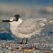 Sandwich Tern adult non-breeding Tekiela 1E1D8277