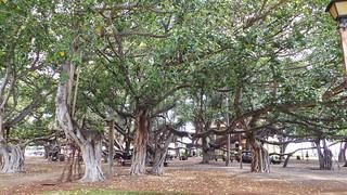 Lahaina Baum