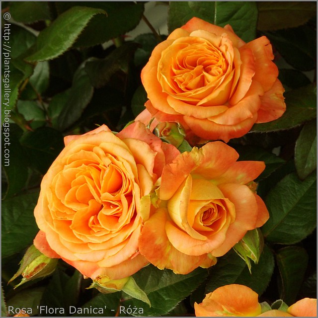 Rosa 'Flora Danica' - Róża  'Flora Danica'  2
