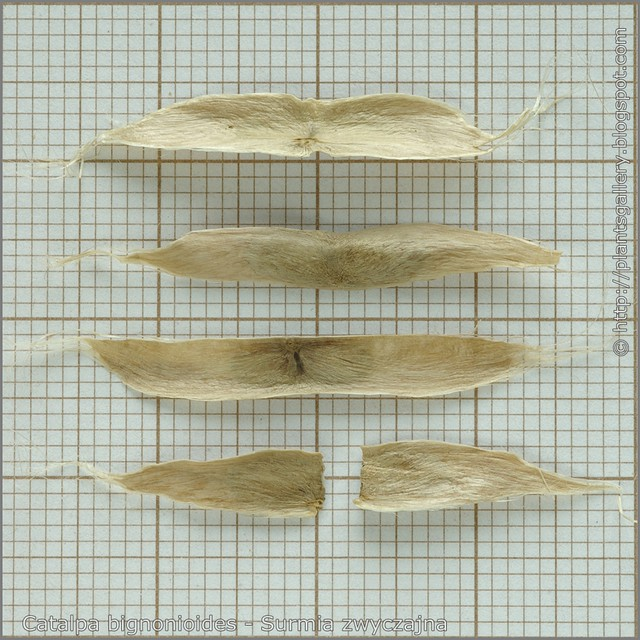 Catalpa bignonioides seeds - Surmia zwyczajna nasiona