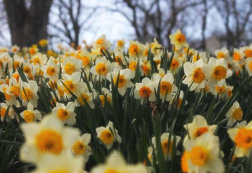 Daffodil Sea