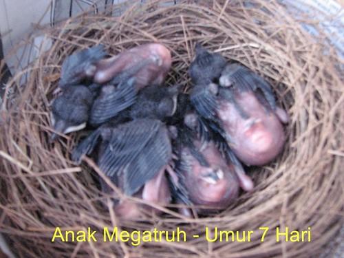 Anak Megatruh - 7 hari