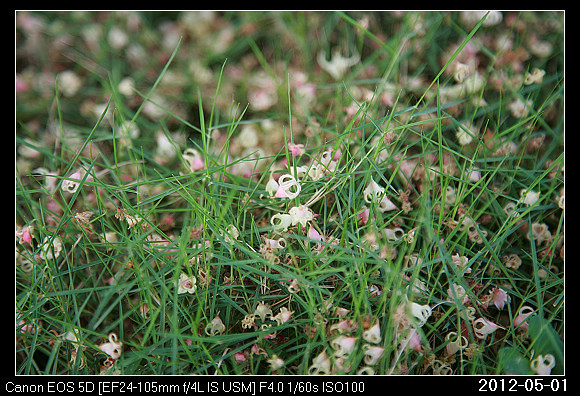 20120501Sterculia nobilis_2