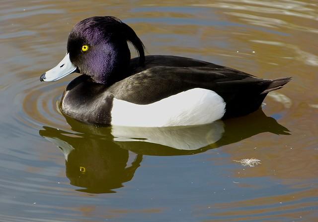25759 - Tufted Duck, WWT Llanelli