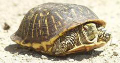 turtle (Ornate Box turtle)